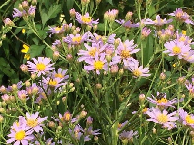 紫苑の写真